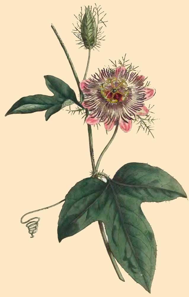 Passiflora ciliata 5_ajou10