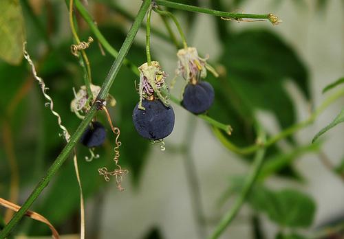 Passiflora 'Sunburst' 5_neir13
