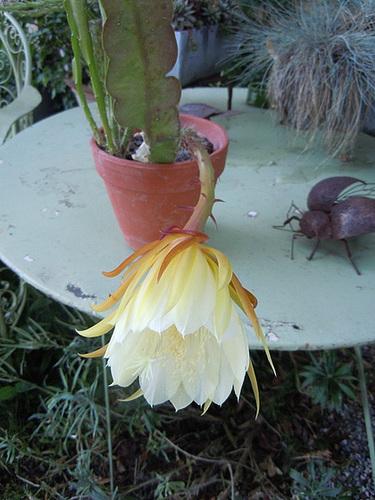 epiphylium - Epiphyllum cooperi 5abeil10