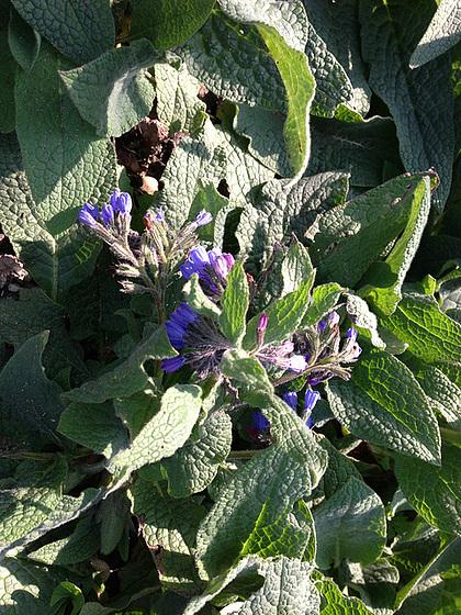 Symphytum orientale et hybrides - consoude orientale 5abeil12