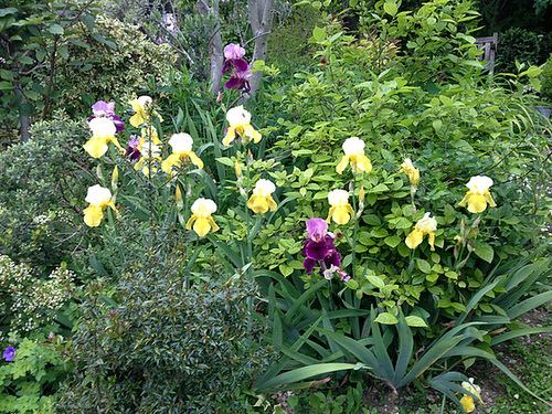 Floraisons de nos Iris barbus 2013 - Page 5 5abeil19