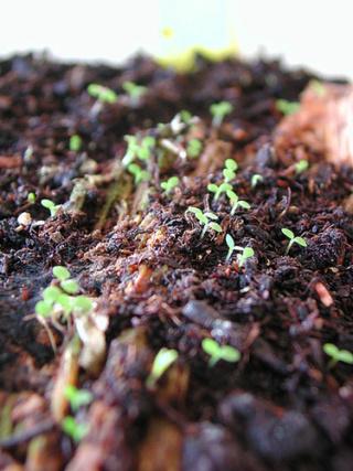 semis d'orchidées terrestres 5isa10