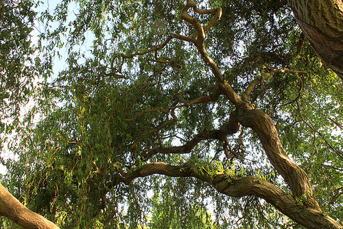 Salix - groupe babylonica et matsudana - saules pleureurs et tortueux  5neir12