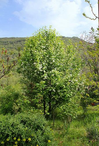 Prunus padus - cerisier à grappes - espèce et cultivars  5neir13
