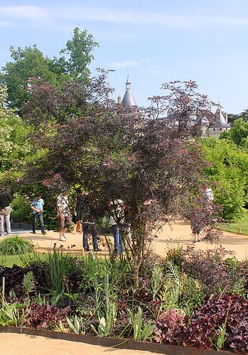Sambucus nigra et cultivars - sureau noir 5neir15