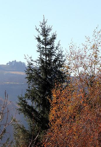 Picea abies (= Picea excelsa) - épicéa commun 5neir17