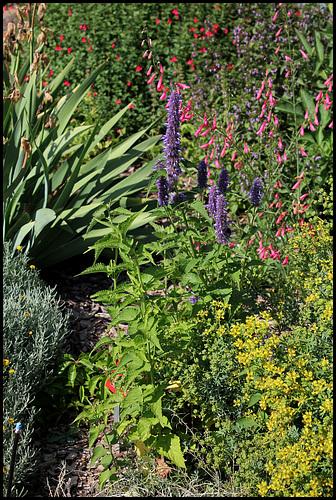 Agastache urticifolia et autres - agastaches rustiques 5neir_10