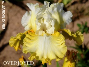 Iris 'Champagne Frost' - Keith Keppel 1996 5overj11