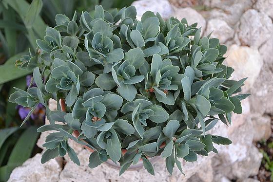 Hylotelephium spectabile (= Sedum spectabile) 5pam10