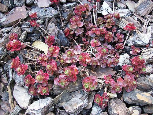 Sedum spathulifolium 5sol10