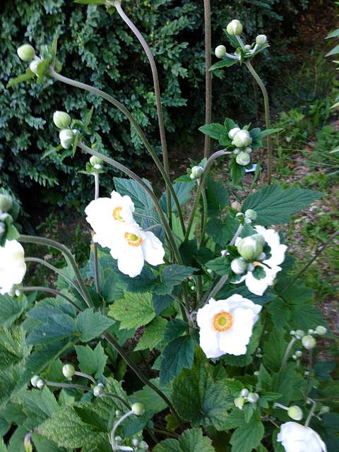 Anemone hupehensis - anémone de Chine ; Anemone hupehensis var. japonica - anémone du Japon 6-abei11