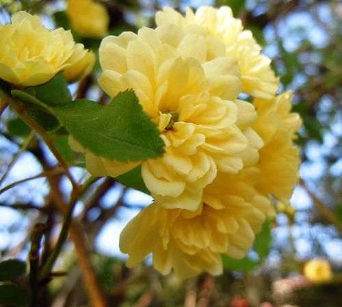Rosa banksiae 'Lutea Plena' 6-abei15