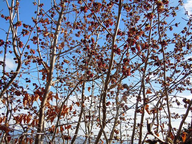 Parrotia persica - arbre de fer 6-abei17