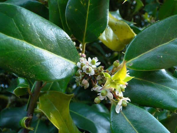 Ilex 'Castaneifolia' - houx à feuille de châtaignier 6-aval10