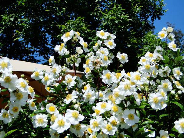 Carpenteria californica 6-aval11