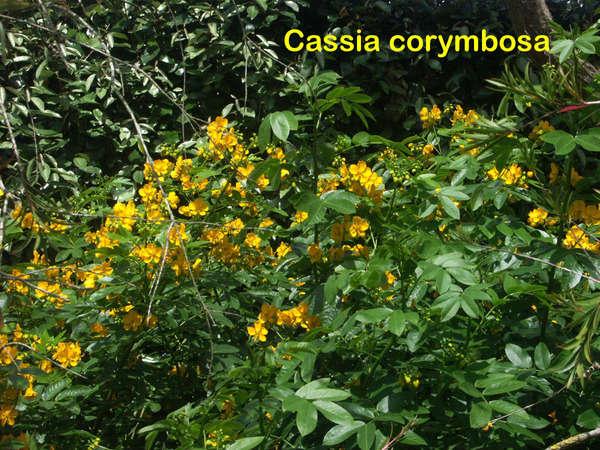 Senna floribunda et Senna corymbosa (= Cassia) 6-aval12