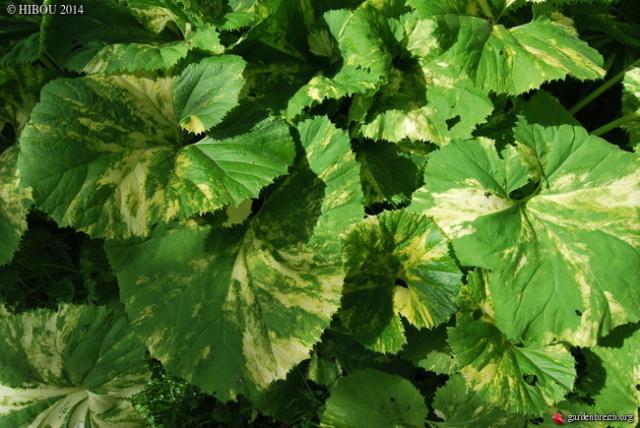 Petasites pyrenaicus (= Petasites fragrans) - héliotrope d'hiver 6-kawa10