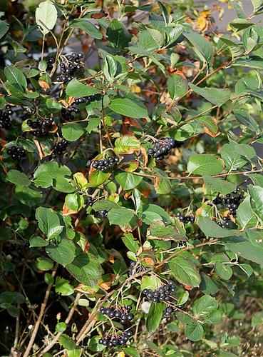 Aronia melanocarpa 6-neir10
