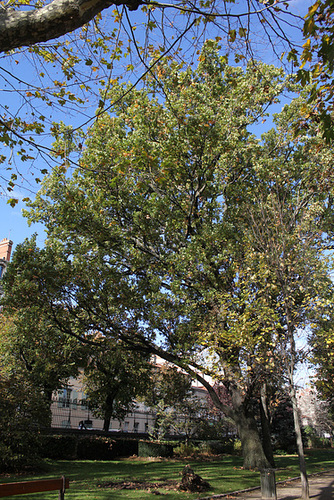 Quercus pedonculatus - chêne pédonculé 6-neir11