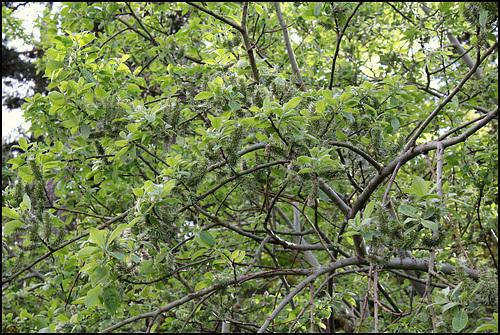 Salix caprea - saule marsault, saule des chèvres 6-neir13