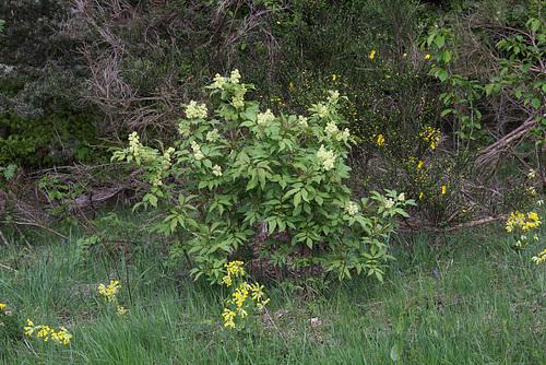 Sambucus racemosa - sureau rouge 6-neir14