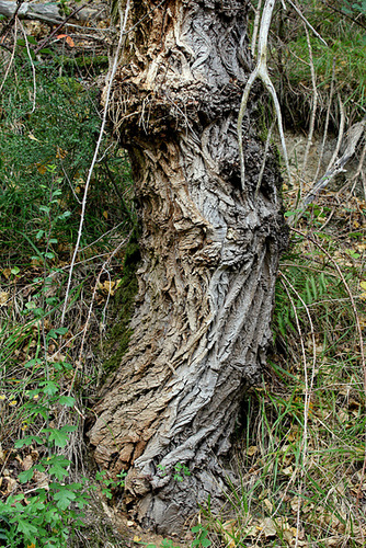 Populus nigra - peuplier noir - variétés, cultivars 6-neir15