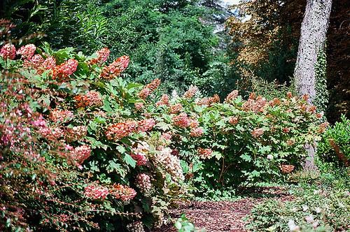 Hydrangea quercifolia 6-neir17