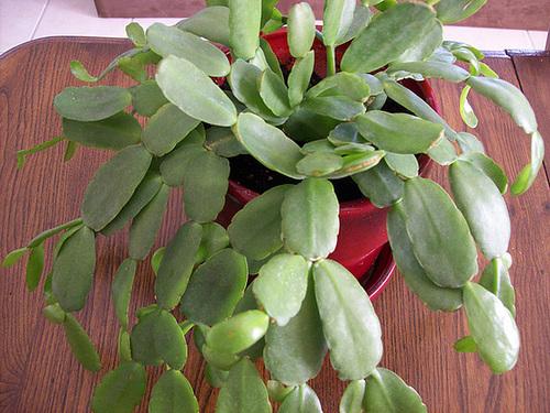 Hatiora rosea (= Rhipsalidopsis) - cactus de Pâques  6-sole10