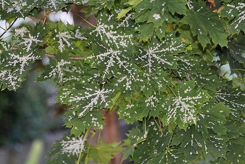Acer platanoides - érable plane  6102