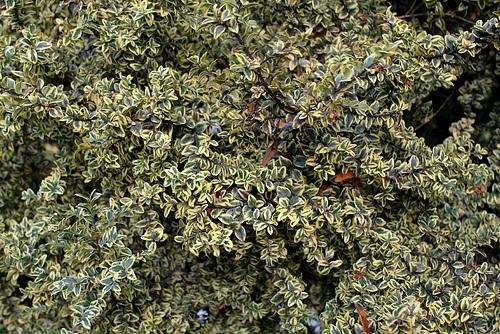 Lonicera nitida - chèvrefeuille arbustif 6107