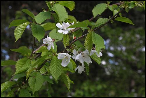 Prunus avium - merisier, cerisier sauvage 6109