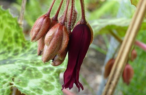 Podophyllum - le genre 611
