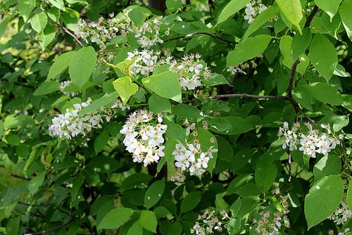 Prunus padus - cerisier à grappes - espèce et cultivars  6112