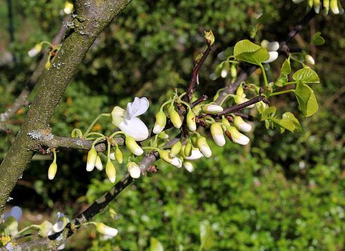 Cercis siliquastrum - arbre de Judée  6119