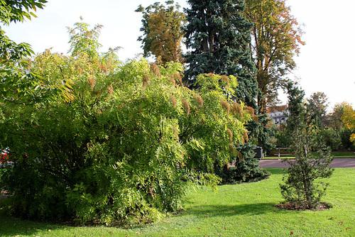 Sorbaria sorbifolia - sorbaria à feuilles de sorbier 6120