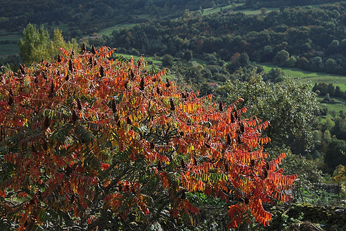 rhus - Rhus typhina - sumac de Virginie, vinaigrier  6122