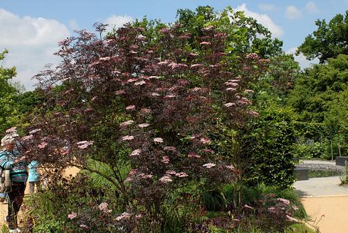 Sambucus nigra et cultivars - sureau noir 6123