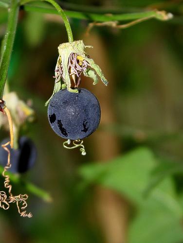 Passiflora 'Sunburst' 6130