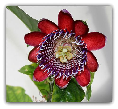 Passiflora quadrangularis et son hybride x Decaisnea 6131