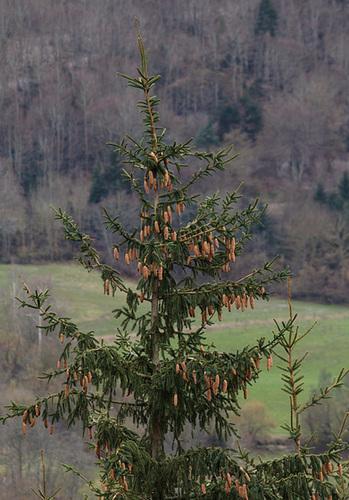 Picea abies (= Picea excelsa) - épicéa commun 6133