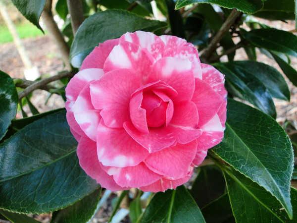 Camellia - choix & conseils de culture 6139
