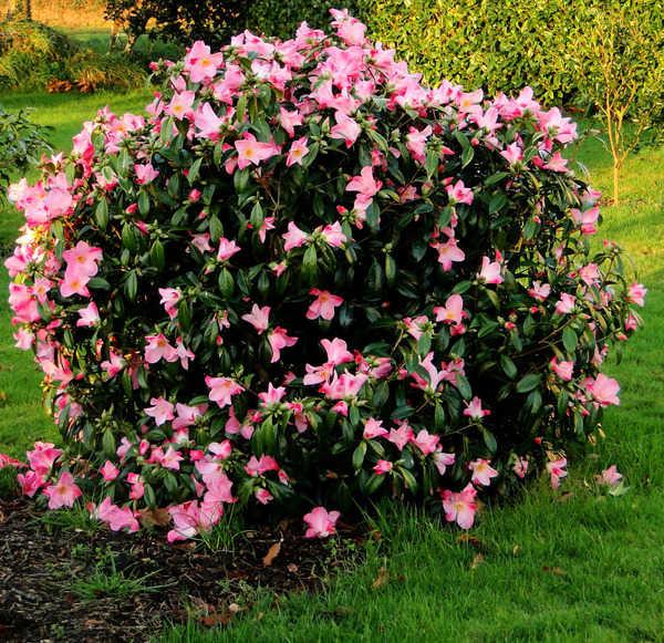 Camellia - choix & conseils de culture - Page 2 6140