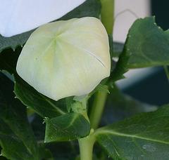 Spathiphyllum, Penstemon, Schefflera, Scindapsus pictus, Calla sp. [id. non terminée] 6141