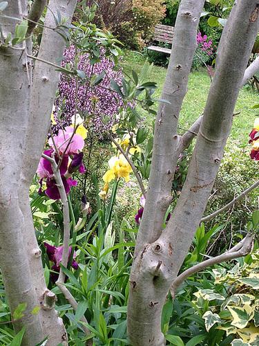 Floraisons de nos Iris barbus 2013 - Page 5 6142