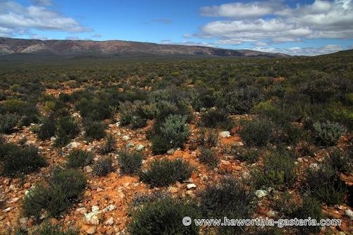 Haworthia pumila (= Tulista pumila, Haworthia maxima) 624