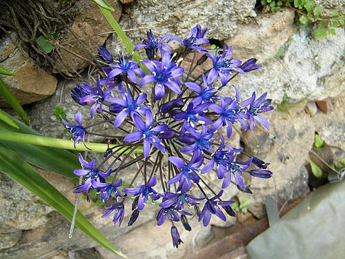 Oncostema peruviana (= Scilla peruviana) - scille du Pérou 634