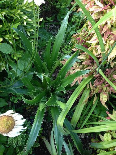 Eryngium agavifolium = bromeliifolium - panicaut à feuilles d'Agave ou de Bromelia 644
