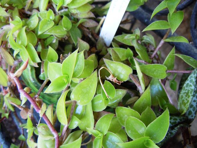 Callisia gentlei var. elegans  650
