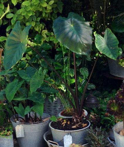 colocasia - Colocasia esculenta - taro 651