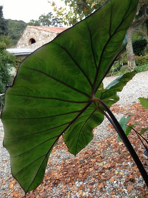 Colocasia esculenta - taro - Page 2 652